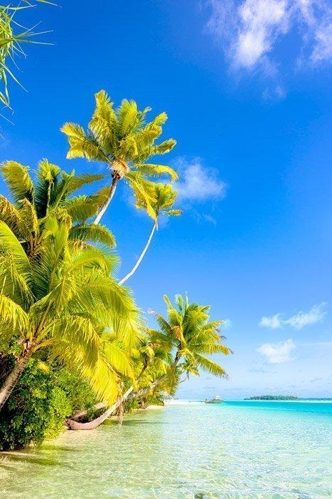 Aitutaki Palm