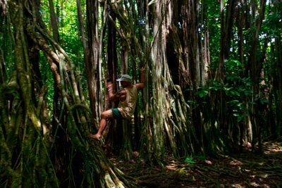 Mauke banyan tree