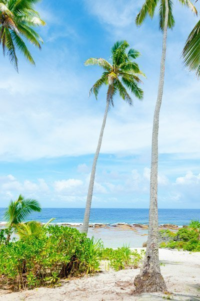 Mauke palm