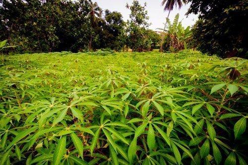 Mitiaro plantation