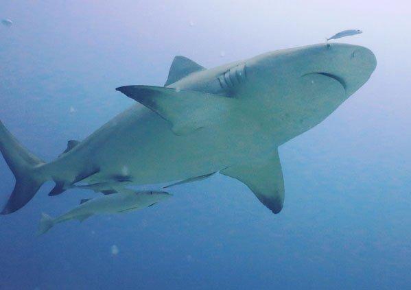 IslandAwe Bull shark