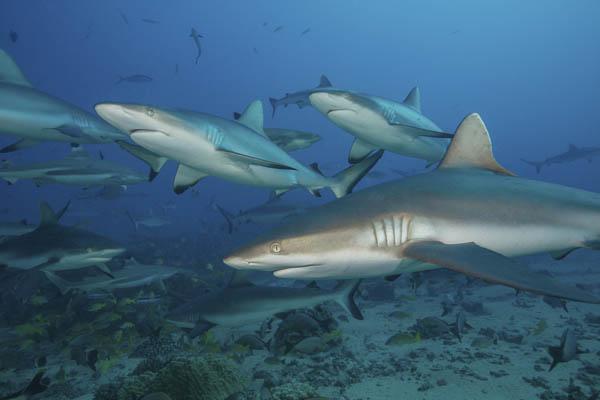 IslandAwe Grey reef sharks