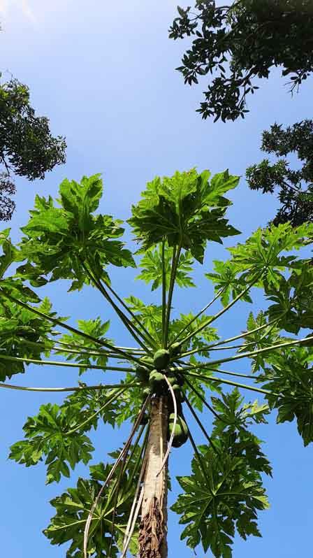 IslandAwe Pawpaw tree