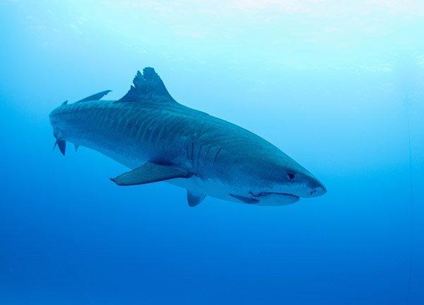 IslandAwe Tiger shark