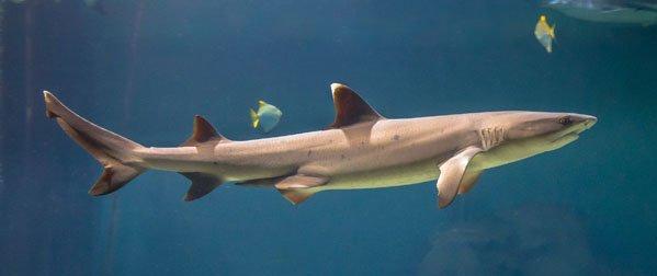 IslandAwe - Sharks in Rarotonga - Species and 9 Spots to Meet Them