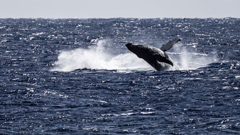 IslandAwe Humpback Whale Rarotonga