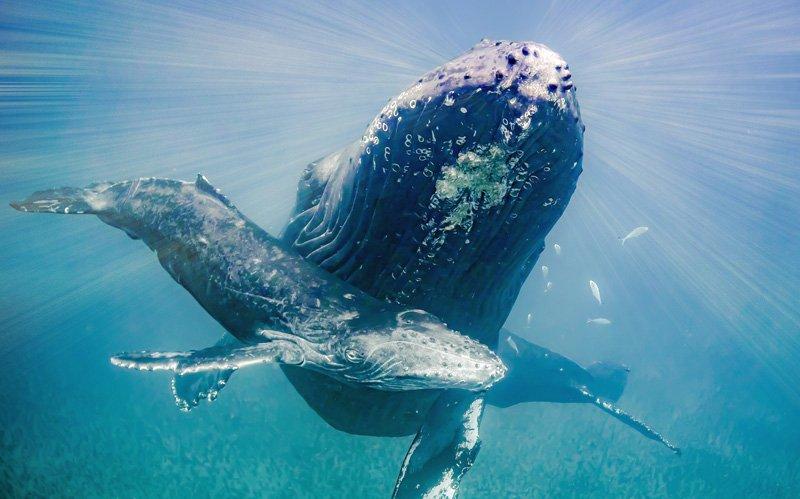 IslandAwe Mom and Calf Humpback Whale
